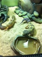 Two leopard geckos, and terrarium with everything you need!!