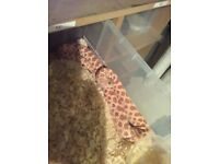 Big female extreme red albino hognose