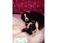 King Charles caverlier puppys