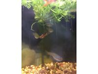 Endler Guppies male and female