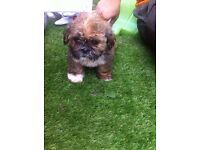 3/4 shih tzu puppies