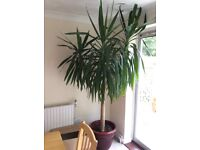 Large indoor yucca plant 6-7ft