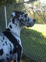 GREAT DANE PUPS **** ONLY 2 LEFT****