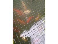 Pond fish goldfish