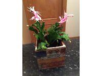 Beautiful Sclumbergera Christmas Cactus house plant