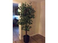 Green Artificial Ficus Tree with Twisted Real Wood Trunk, 6.5 feet
