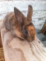 rabbits. purebred mini rex