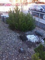 FREE - 2 Mugo Pines