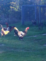 Pure Bred Easter Egger Roosters