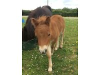 Shetland pony mare and colt foal for sale