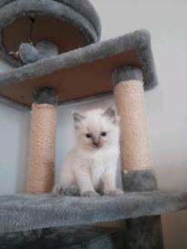 Ragdoll kittens Bristol
