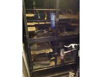 Two male degus in a large 5ft x 3ft cage, loads of accessories and food.