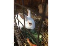 Beautiful 10 week old female rabbit for sale