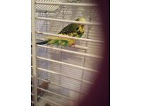 Two budgies with larg cage