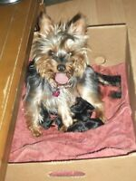 Silky Terrier Puppies (PB)