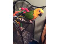 Hand reared fully tamed Sun Conure