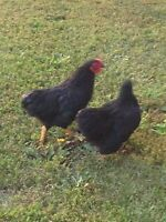 Two Black bantam ckickens