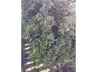 Lovely evergreen shrub free to take today.