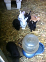 Meat Rabbits For Sale