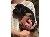 KC reg Border Terrier Pups For Sale