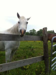 8 Year Old Arab Quarter Horse Mare