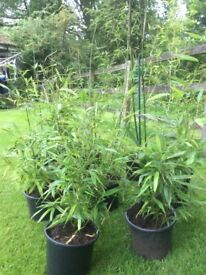 Bamboo Evergreen Plant Established 4 Litre Pot 70cm Tall Cascading Green Leaves With Cane Growth