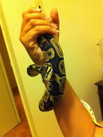 Free 2 year old male ball python