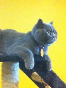 Disparu à Verdun - chat British shorthair gris - récompense