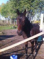 2 year old gelding