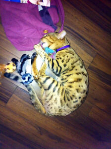 Spayed Bengal Female Looking for new Home