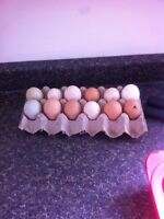 Heritage Fertalized eggs for sale want to sell ASAP!