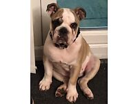 English bull dog ( 4 months & a half ) for sale