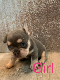 KC REGISTERED LILAC AND TAN FRENCH BULLDOG PUPPIES