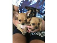 Chihuahua puppy puppies