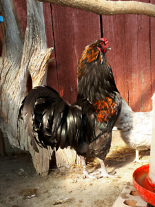 Rooster- Ameraucana x