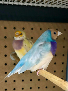 Blue gouldian / split to blue yellow