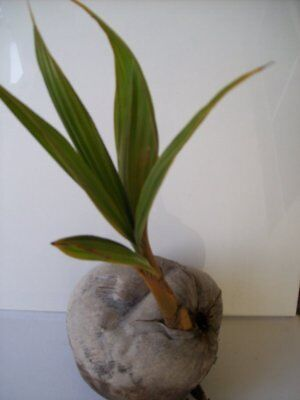 Yellow Coconut Palm Tree Exotic Palm   Miami Yellow Coconut Sprouted Tree Live