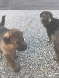 Fluffy German Shepherd Puppies