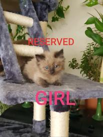 8 Beautiful Ragdoll Kittens