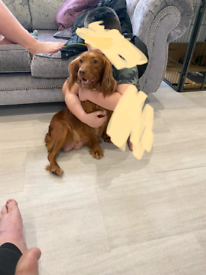 Red Cocker Spaniel Puppies Boys and girls