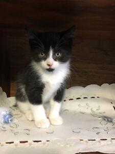 Manx kittens (no tail and bob tail)