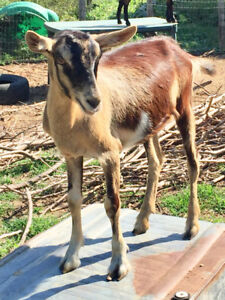 ~FOR SALE~Alpine Nubian Milk Goat~8 months old