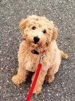 Looking for a Mini Goldendoodle to join the family Mid July