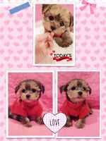Morkie babies ❤️ Hypo-allergenic & Non-shedding
