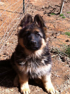 LOOKING FOR PUPPY!! London Ontario image 2