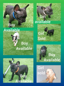 French bulldog puppy's ready now call for viewing
