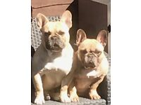 Kc registered French bulldogs stocky puppies 8 weeks old
