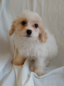 Cavapoo | Adopt Dogs & Puppies Locally in Canada | Kijiji