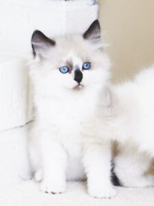 Friendly Ragdoll kittens are ready for their new homes