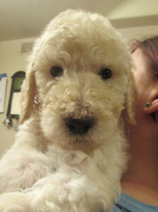 GUELPH TO CORNWALL ON OR AROUND NOV 4 - FOR PUPPY